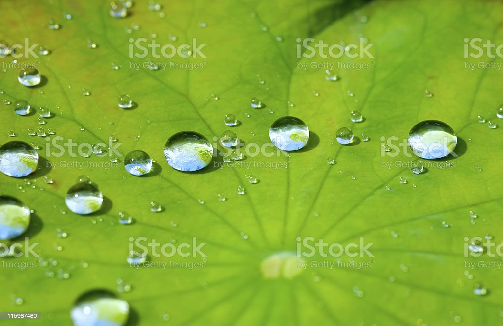 Lotus leaf with water drop 08 stock photo