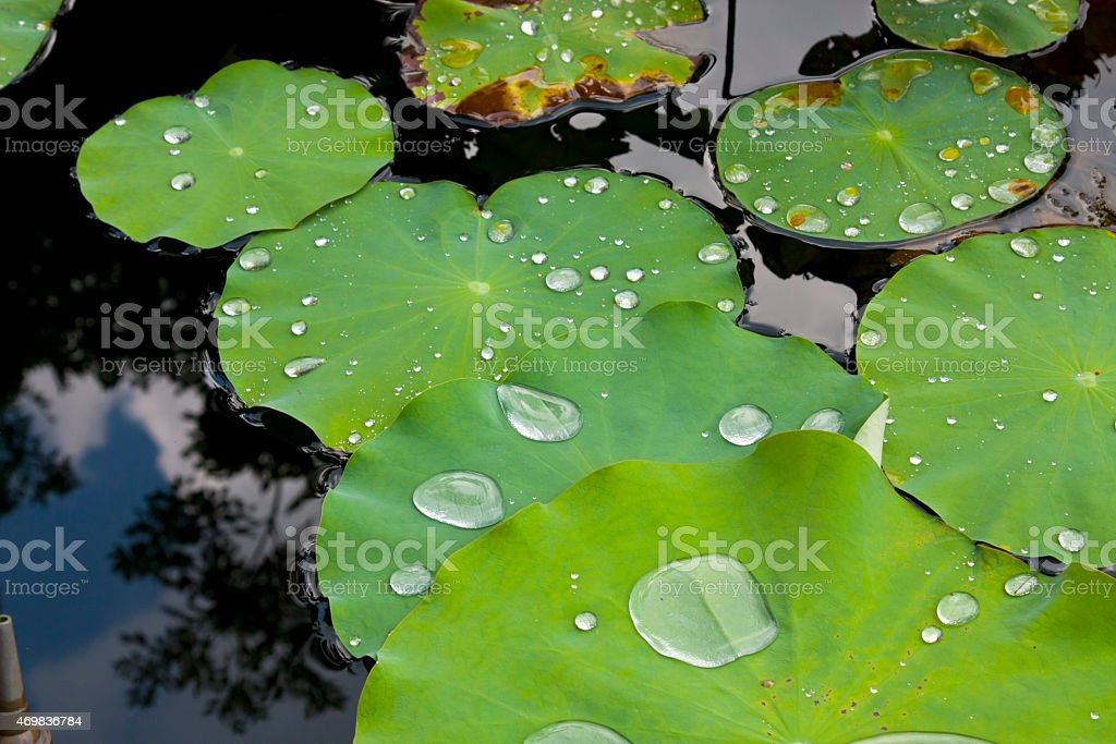 Lotus leaf with water drops effect green stock photo
