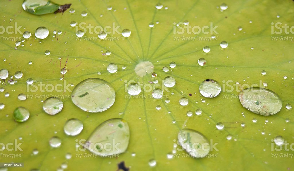 Lotus leaf with water drops stock photo