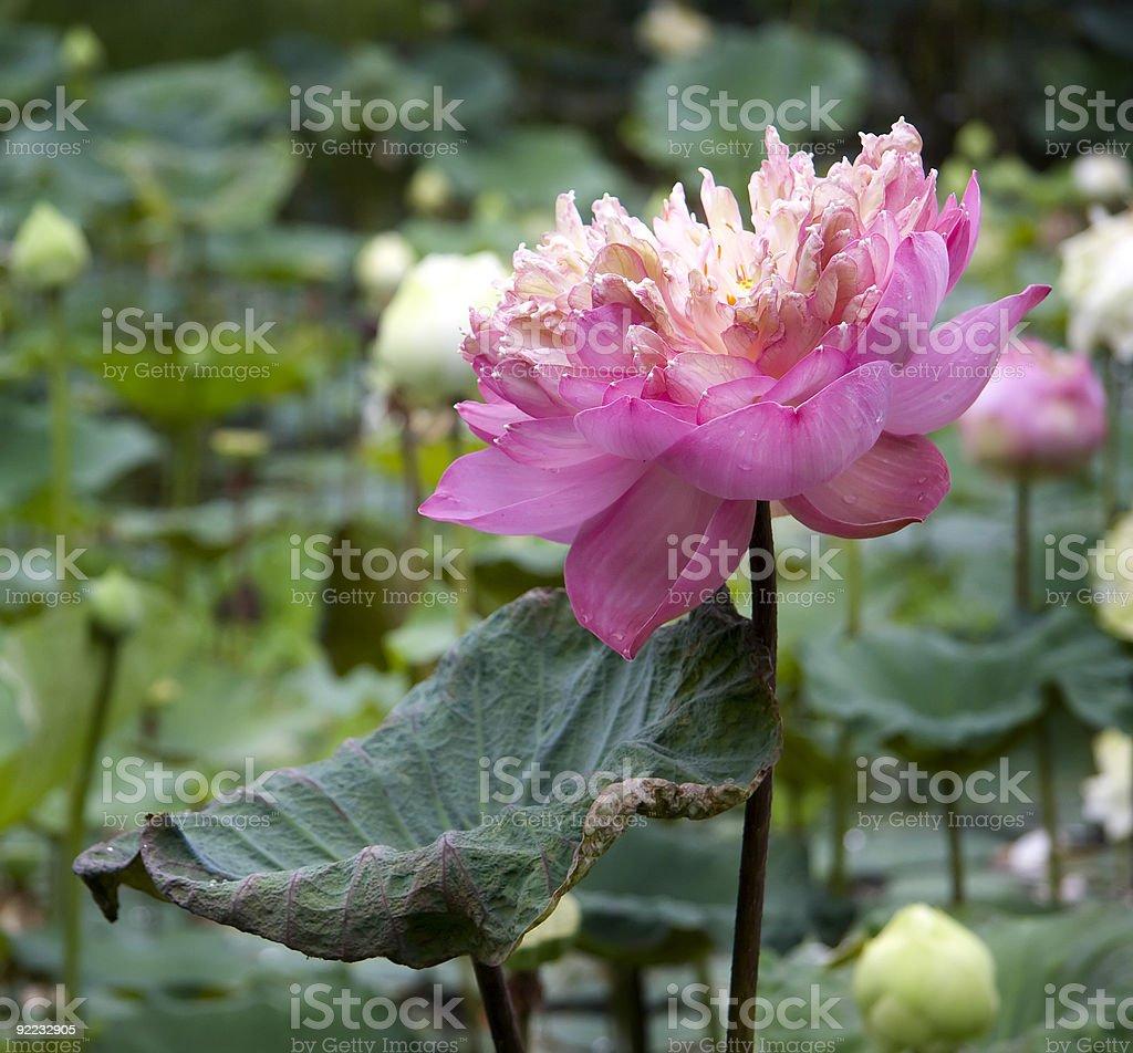 Feuille de lotus avec gouttes d'eau photo libre de droits