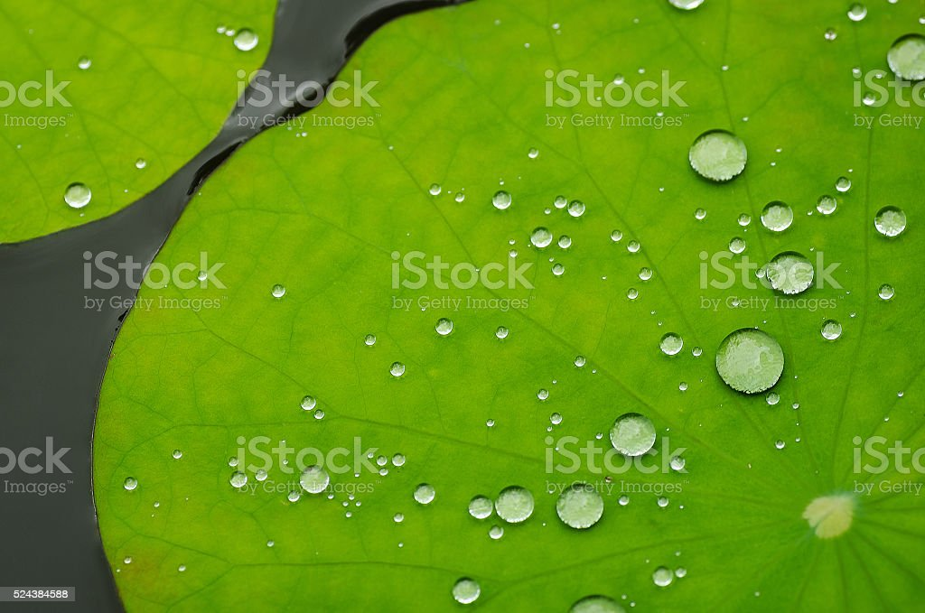 Lotus Leaf with water stock photo