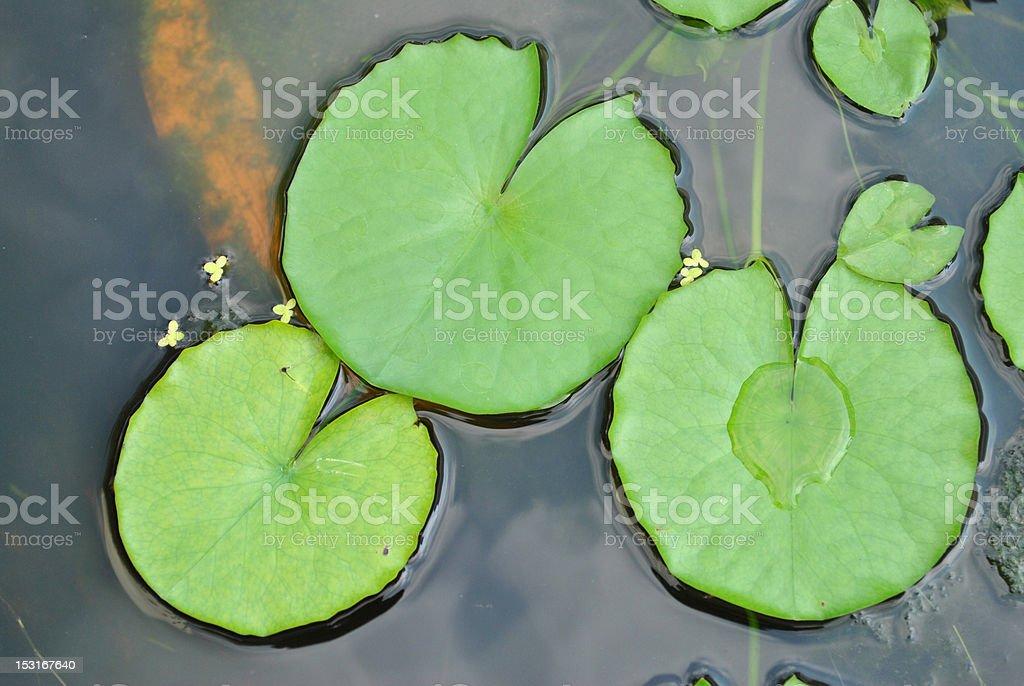 Lotus leafs stock photo