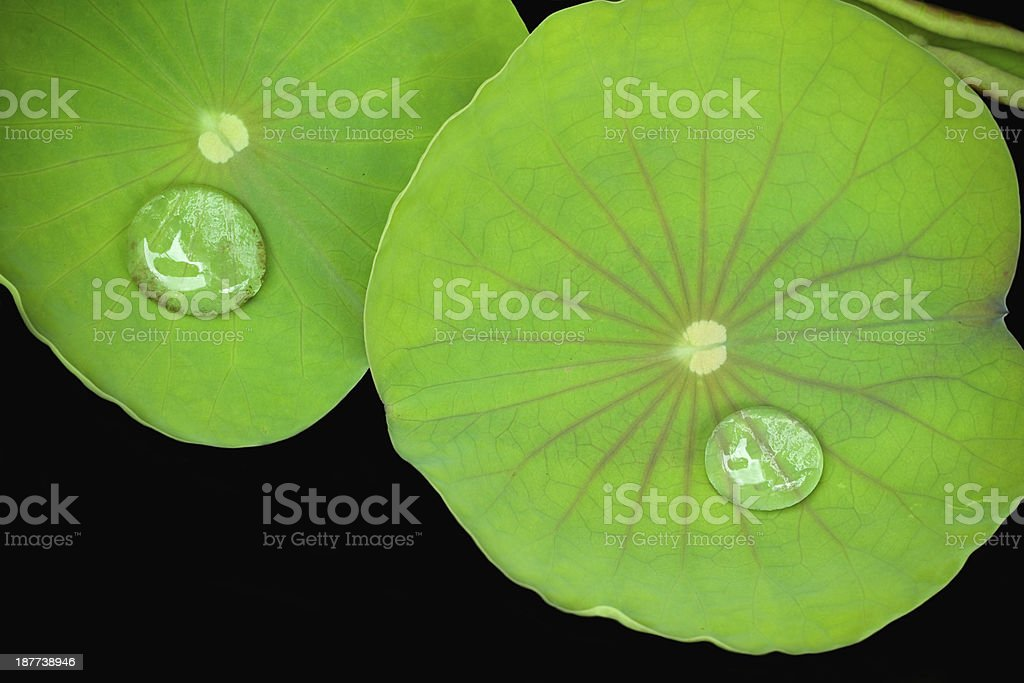 lotus leave stock photo
