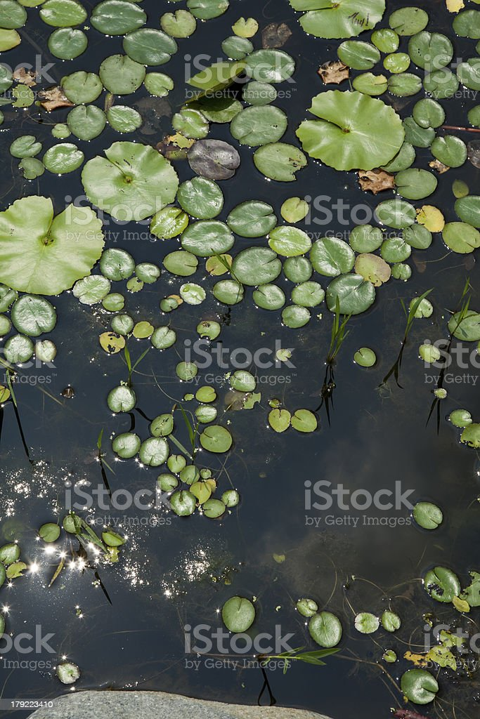 lotus leaves in pond top view royalty-free stock photo