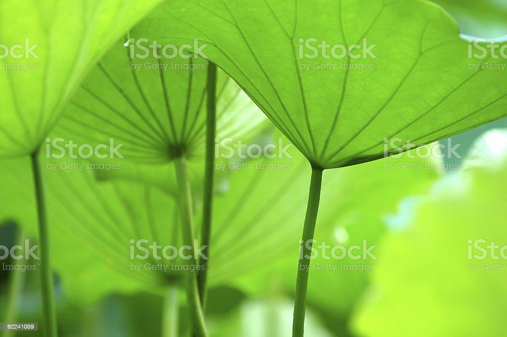 Lotus leaves royalty-free stock photo