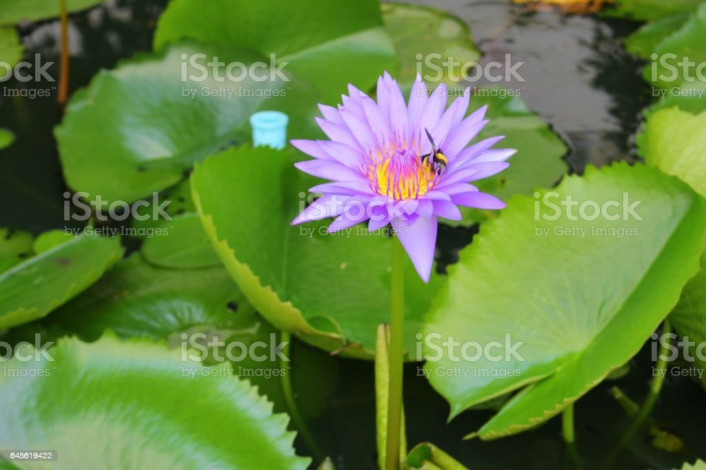 Lotus lilly purple on water  beautiful stock photo