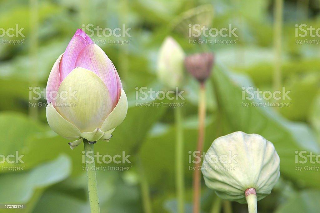 Lotus Lily stock photo
