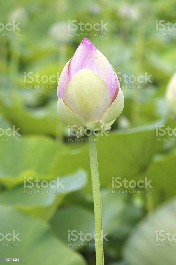 Lotus Lily Portrait stock photo
