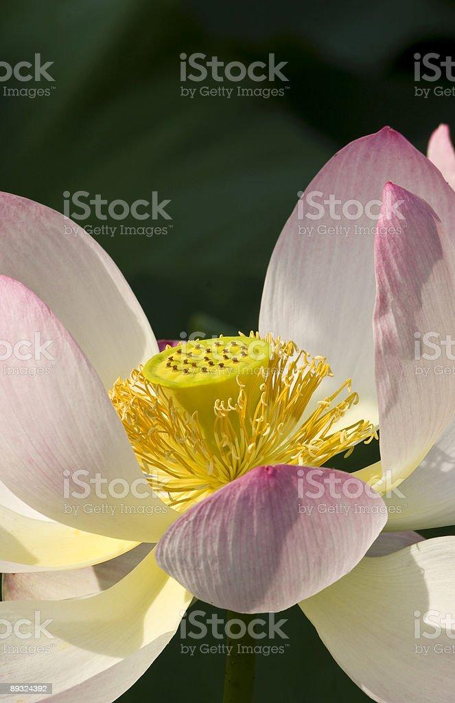 Lotus macro royalty-free stock photo