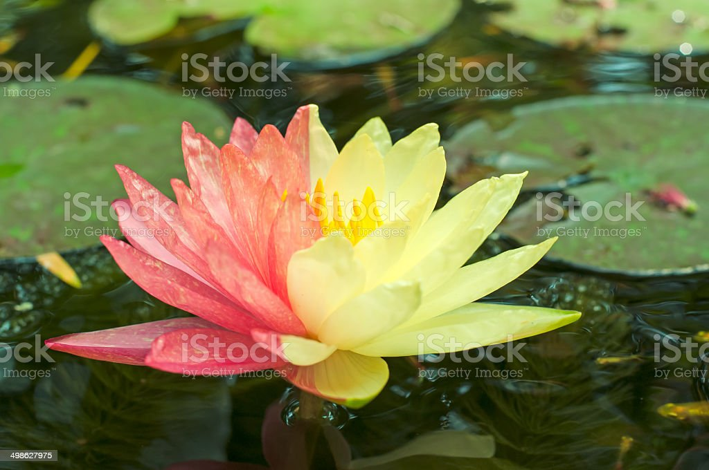 Lotus mutant with two colors in a single flower stock photo
