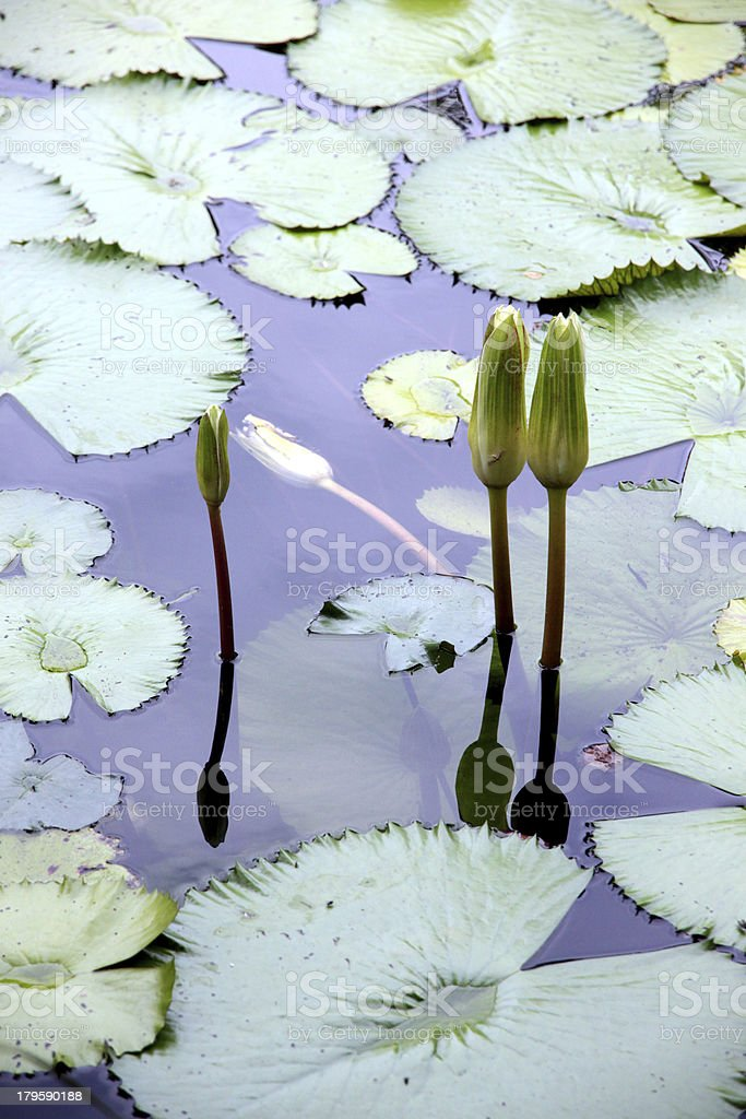 Lotus not bloom in the pond. royalty-free stock photo