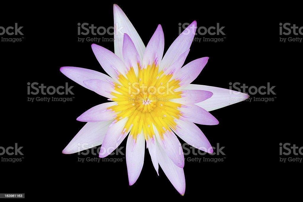 lotus on black background royalty-free stock photo