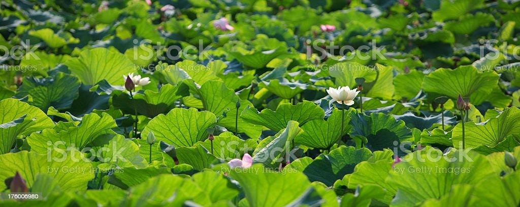 Lotus on the Green Lake, Kunming, China royalty-free stock photo