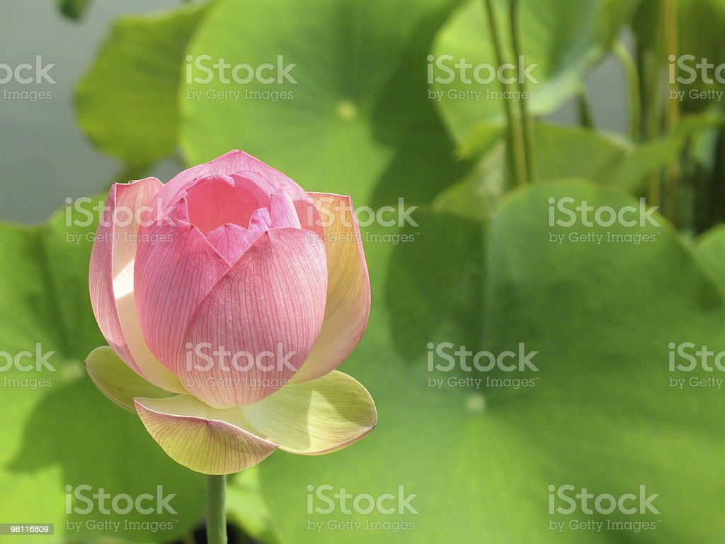 Lotus Perfection royalty-free stock photo