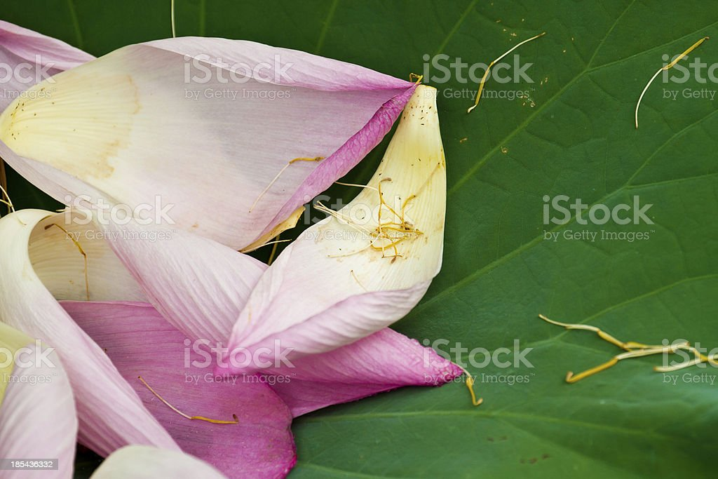 lotus petal royalty-free stock photo