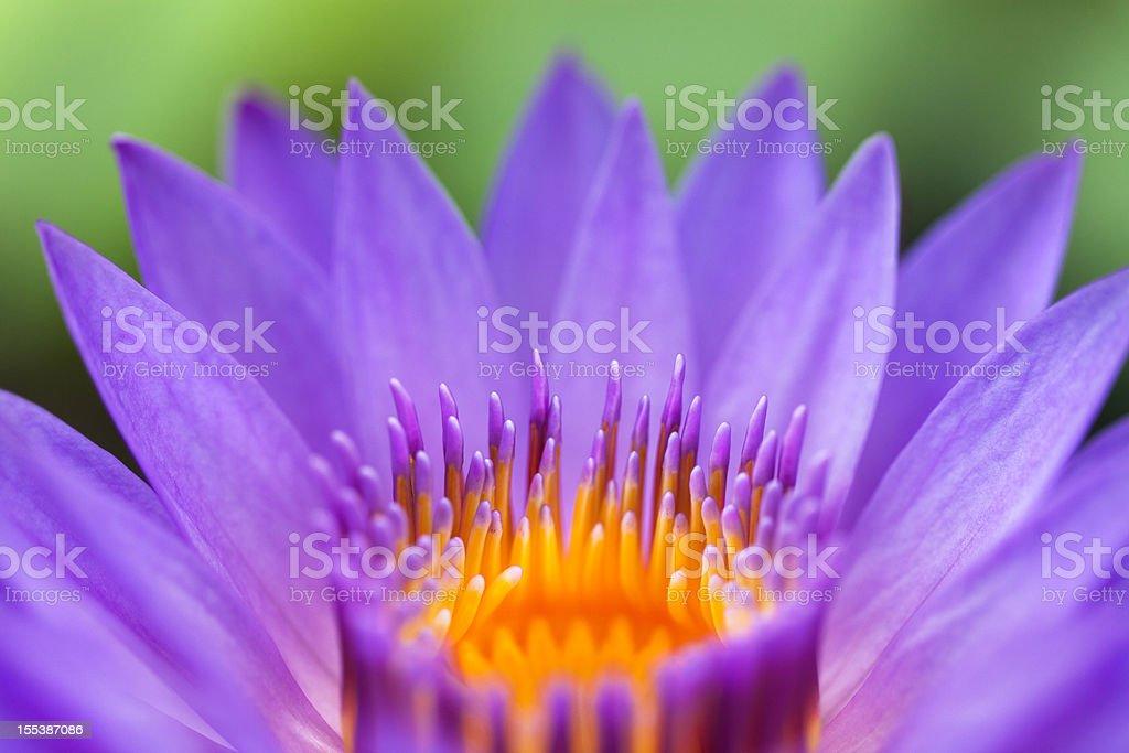 Lotus royalty-free stock photo