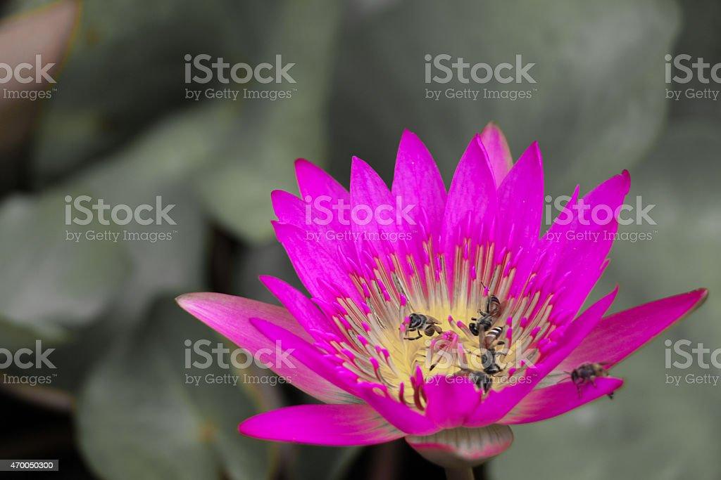 Lotus foto royalty-free