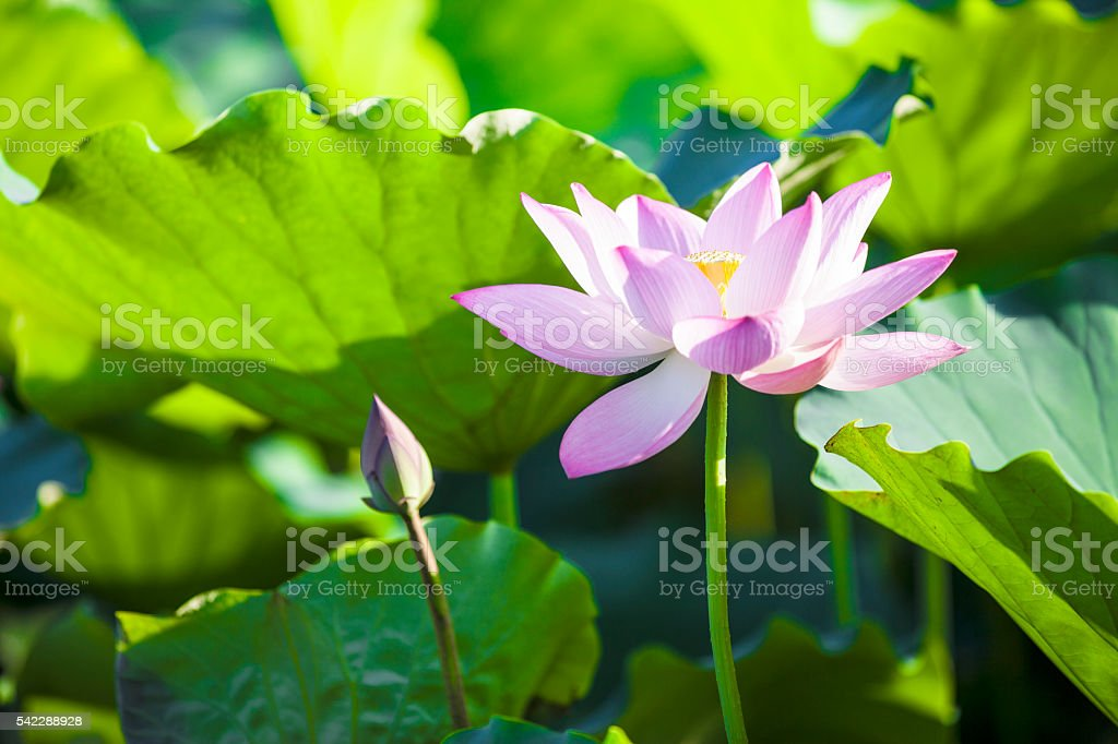 Lotus stock photo