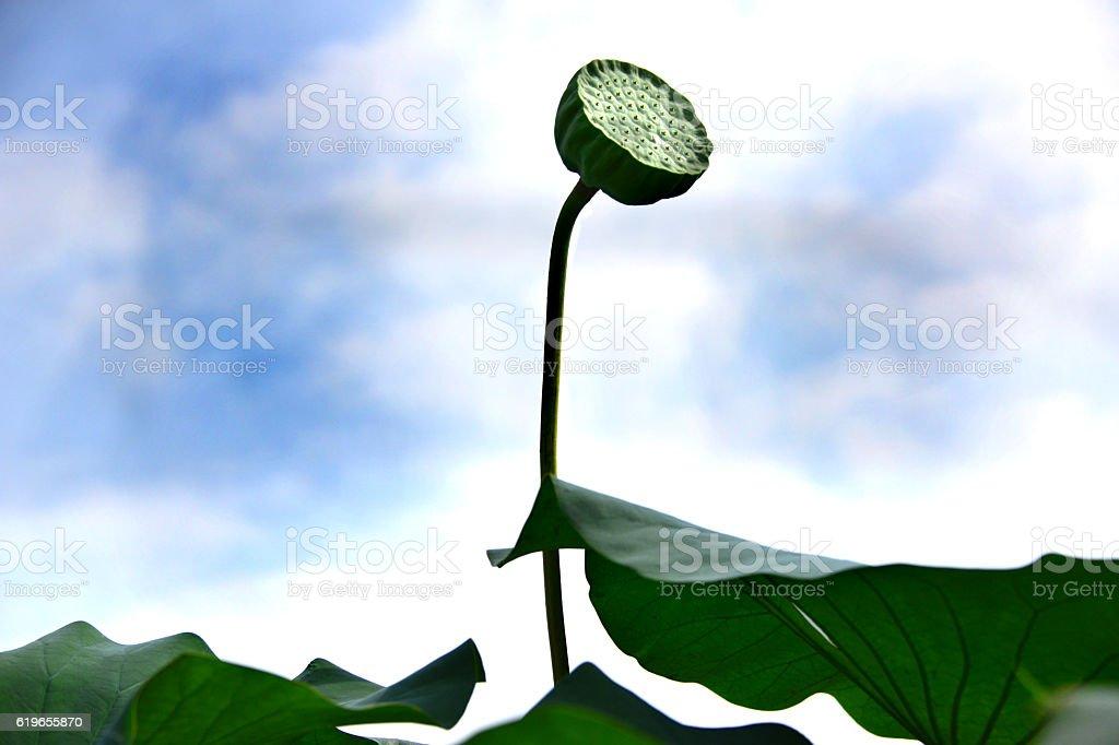 lotus  foto de stock libre de derechos