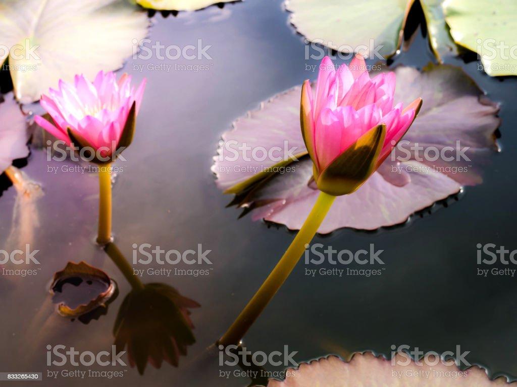 Lotus pink fresh stock photo