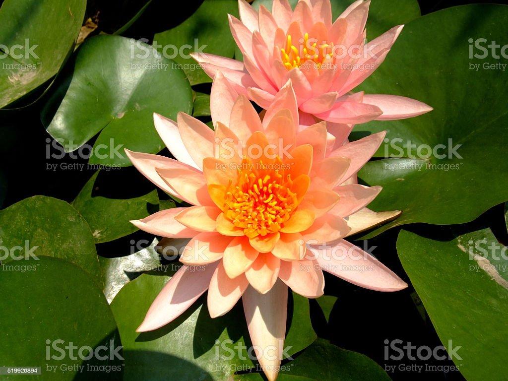 Lotus pink in pond beautiful stock photo
