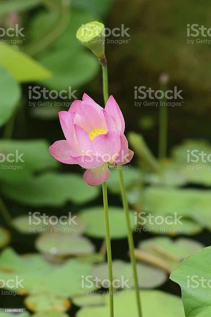 Lotus pistil and calyx royalty-free stock photo