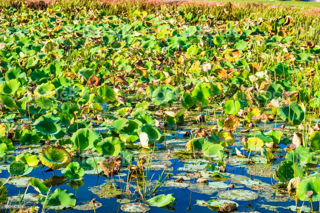 Lotus Plants Floating On A Fall Pond stock photo