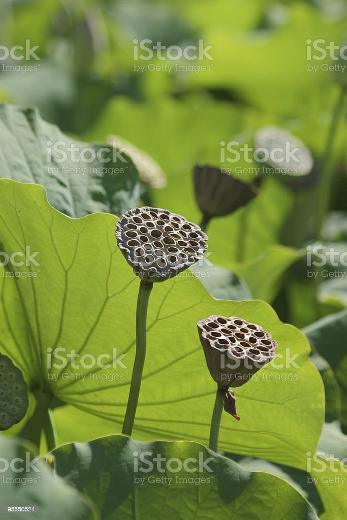 Lotus pods stock photo