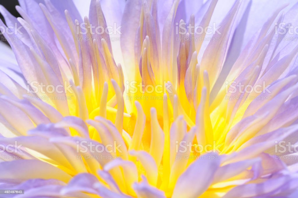 Lotus pollen. stock photo
