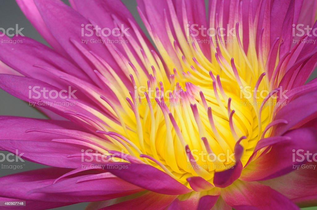 Lotus pollen. stock photo