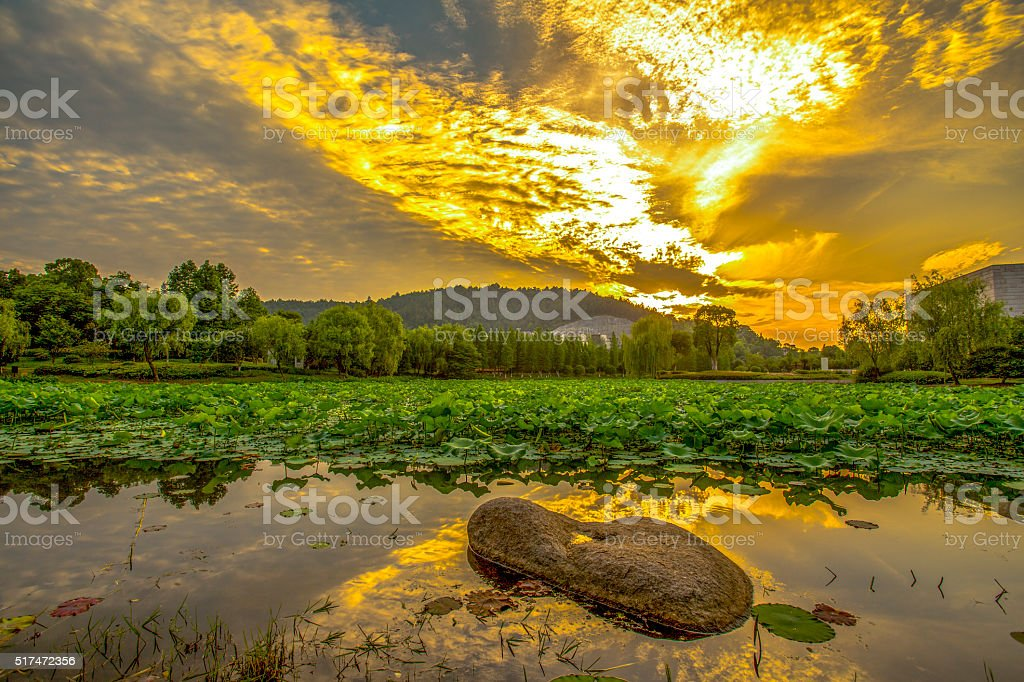 lotus pond at sunset stock photo