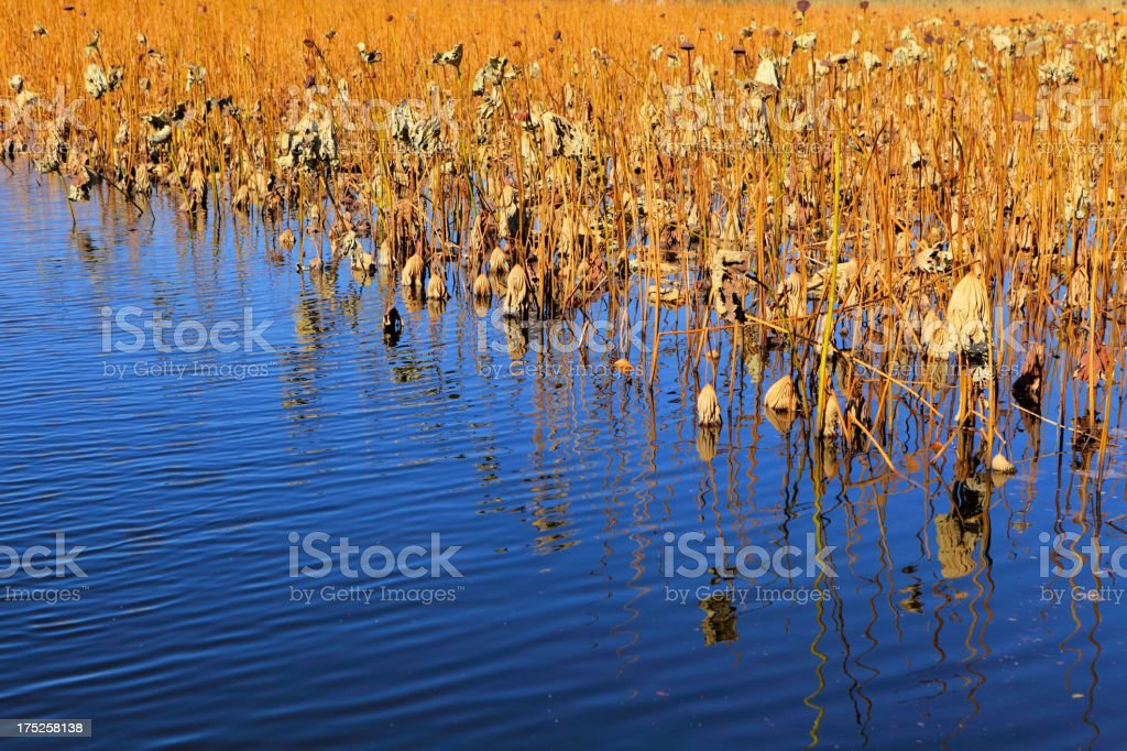 Lotus pond in autumn royalty-free stock photo