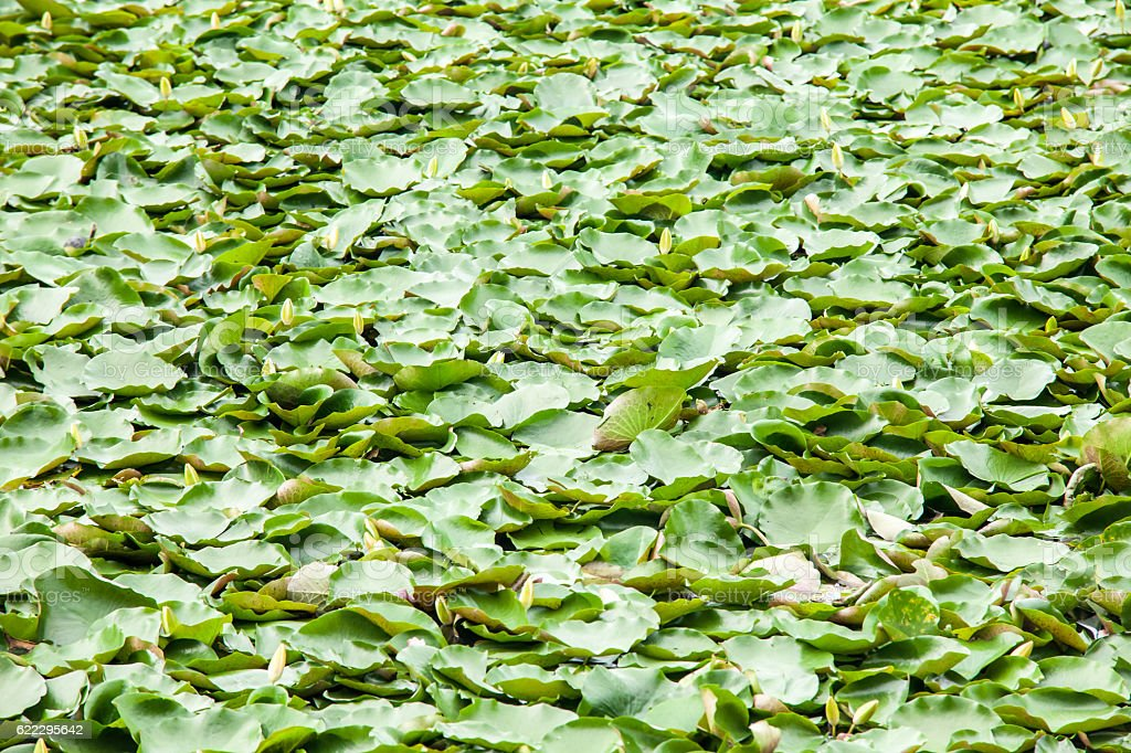 lotus pond in pool stock photo