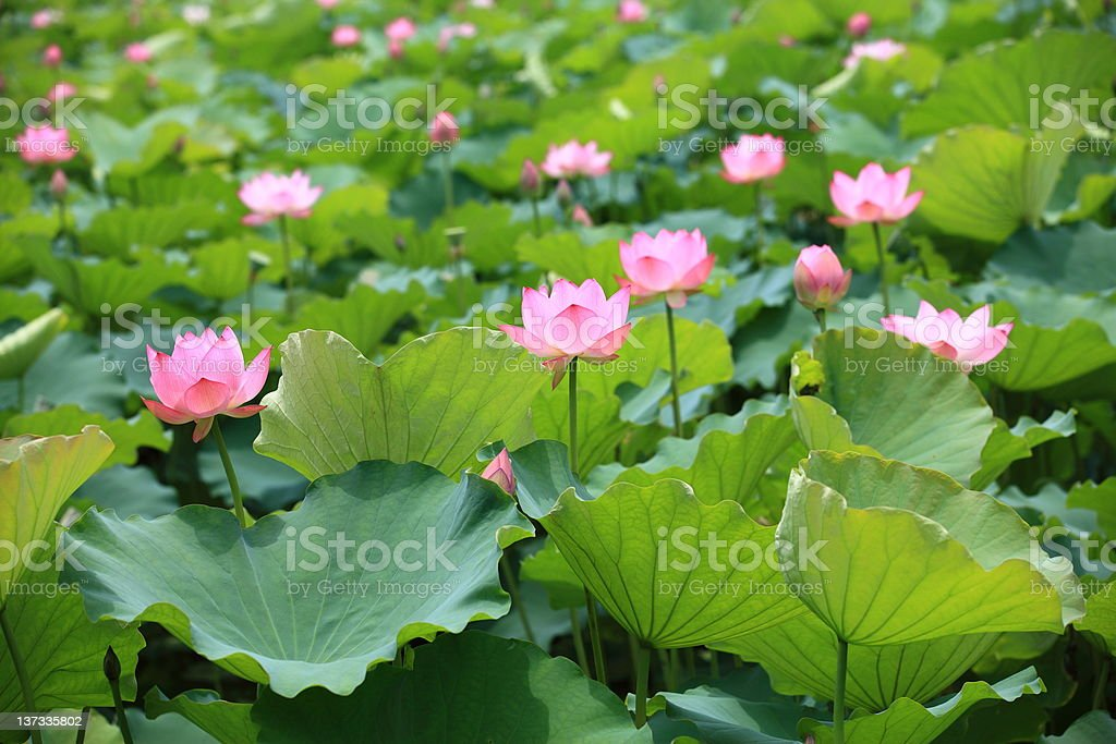 Lotus pond royalty-free stock photo
