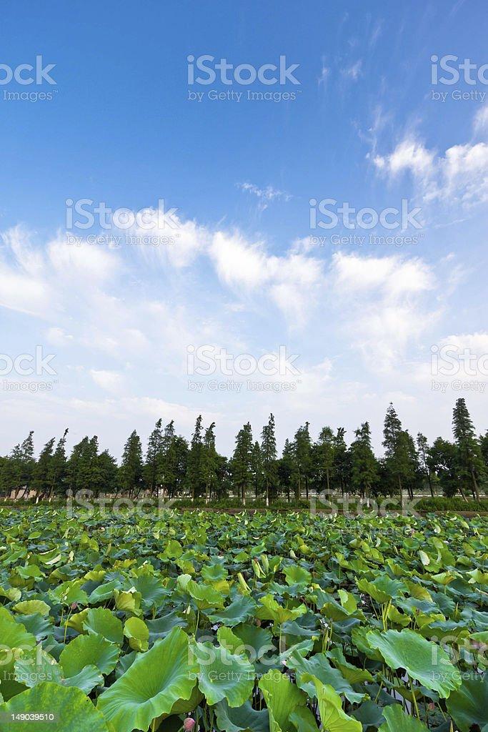 Lotus Pond royalty-free stock photo