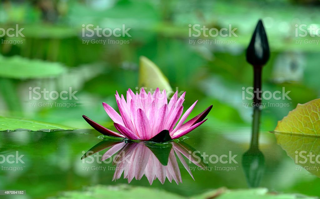 Lotus reflection stock photo