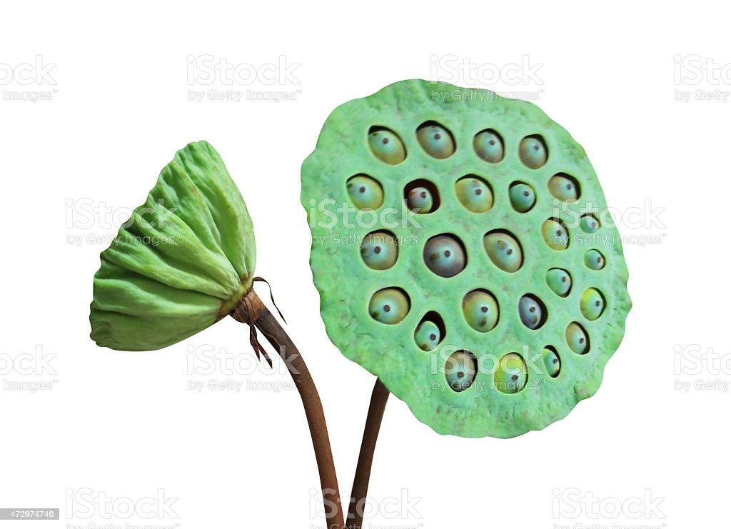 Lotus seeds and pods (lian zi) stock photo