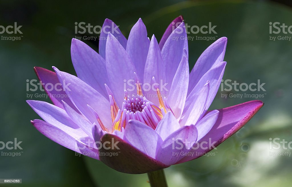 Lotus, solus, glistening in sunlight, India stock photo