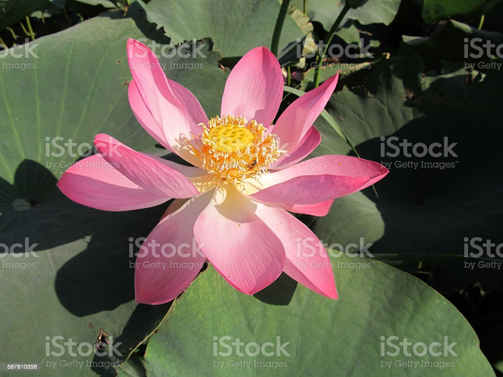 Lotus - thermophilic southern plant. stock photo