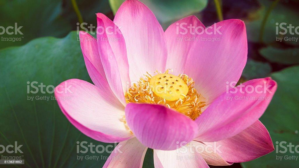 Lotus Wate stock photo