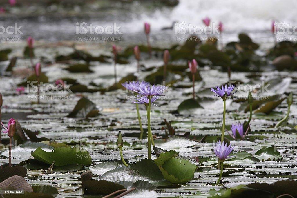 Lotus, water lily royalty-free stock photo