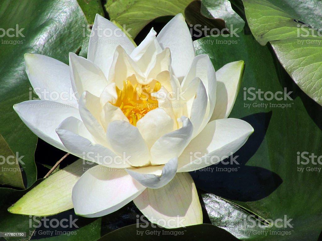 Lotus - Water Lily stock photo