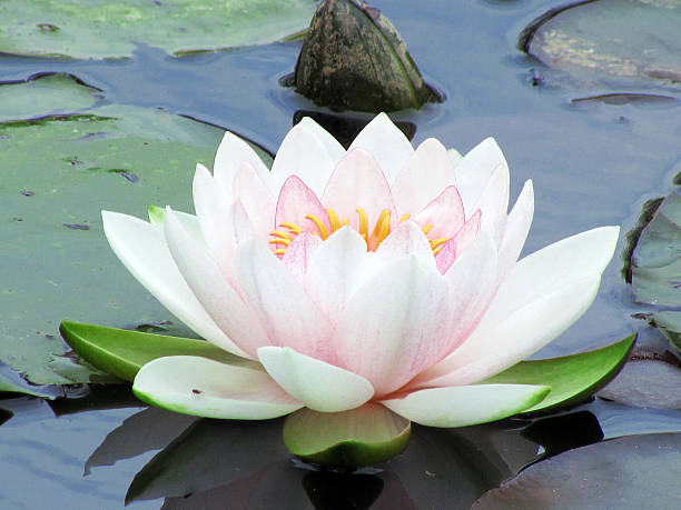 lotus water lily pictures, images and stock photos  istock, Beautiful flower