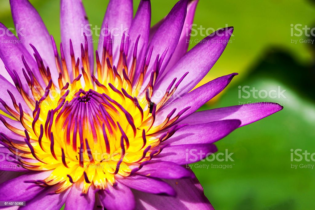 Lotus Water Lily. stock photo