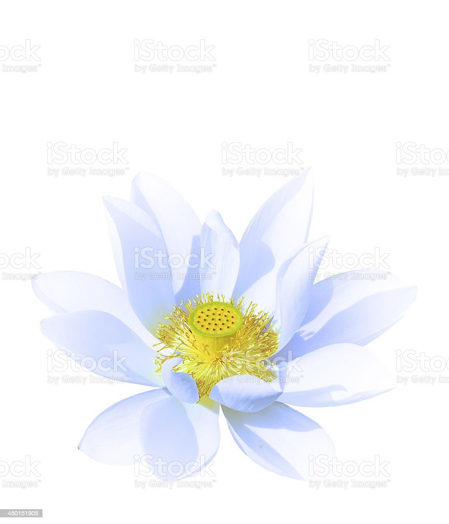lotus with blue petal isolated royalty-free stock photo