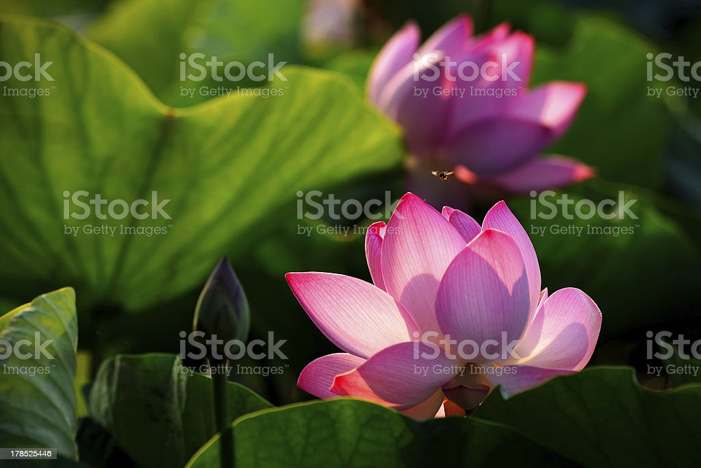 Lotus with morning light. royalty-free stock photo