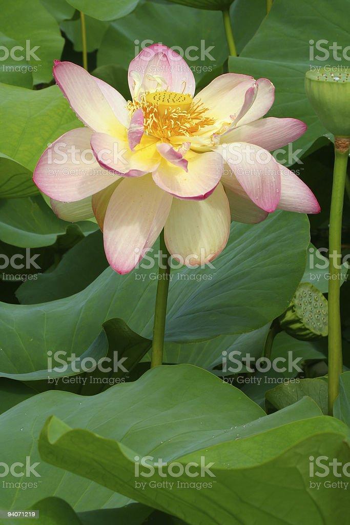 Lotus with Raindrops royalty-free stock photo