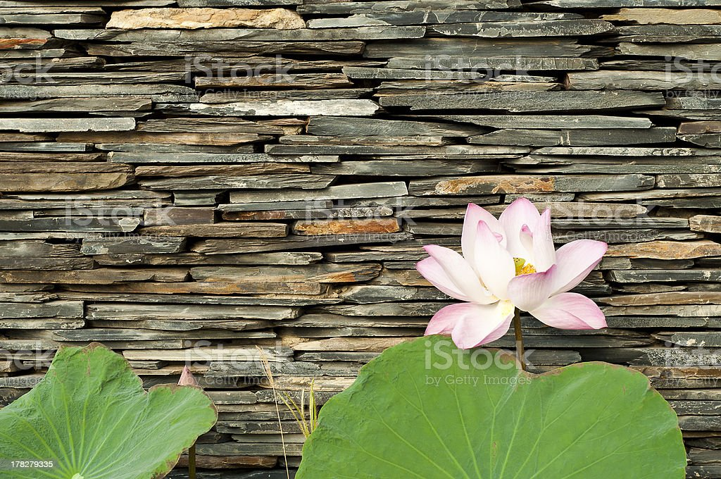 Lotus with stone wall background. royalty-free stock photo