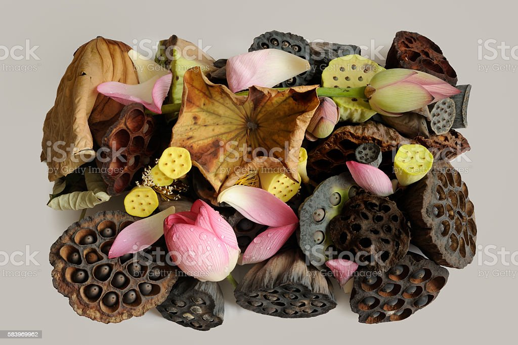 Lotus with withered leaves and seeds stock photo