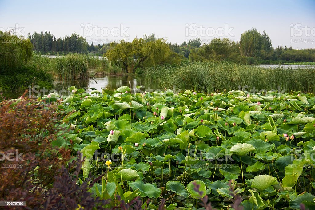 Lotuses and Leaves in Wetland royalty-free stock photo
